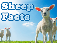 sheep-facts-spotlight